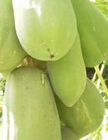 Papaya_green